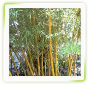 Bambusa Arundinacae Herbal Extracts
