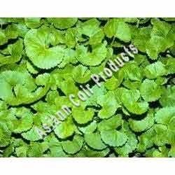 Centella Asiatica Grow Bags