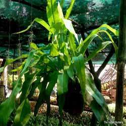 Bird Nest Fern / Asplenium nidus