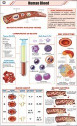 Human Blood Cells Chart
