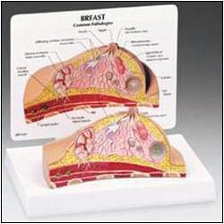 Breast Cross Section Model
