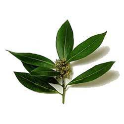 Bay Laurel Oil