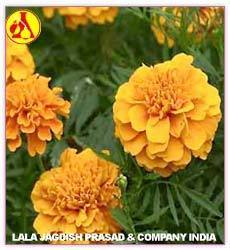 Marigold Oil-Rub Genda- Tegetes Absolute