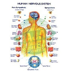 Human Nervous System