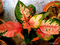 Red Aglaonema-Revolutionary Premium Decorative Indoor!