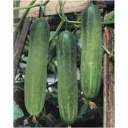 Cucumber Hybrid Seeds