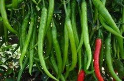 chilli aayushi seeds