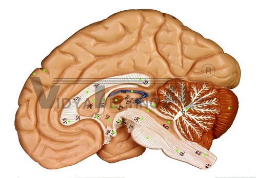 Brain And Spinal Cord Sagittal Section Brain Spinal Cord Models