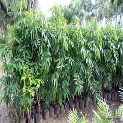 Polyalthia longifolia var. pendula