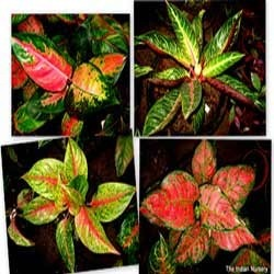 Red aglaonema varieties-Premium home decor