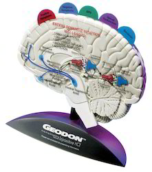 Brain Model With Tabbed Overlays