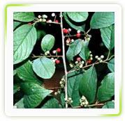 Embelia Ribes Burm