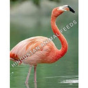 flamingo feed