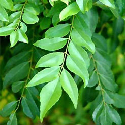 Curry Leaf Oil