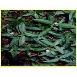 Bhringraj Leaf Dry Powder