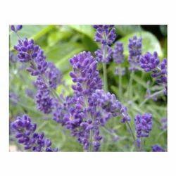 Lavender Perfume Oils