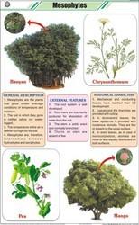 Mesophytes For Botany Chart
