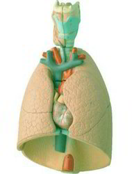 Human Lungs With Heart