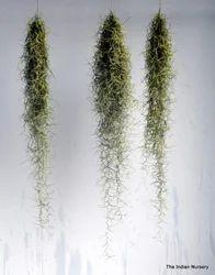 Tillandsia / Aerophytes / Air plants ( Bromeliaceae )