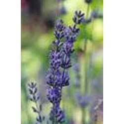 Lavender 'T' Oil