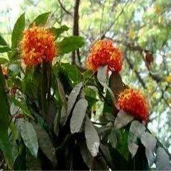 Saraca Indica (Leguminosae)