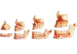 Human Dentition Development On Stand