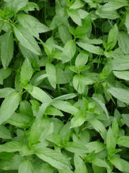 Mint Leaves (Mentha Arvensis)