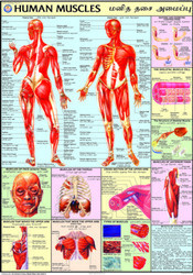 Muscles Charts