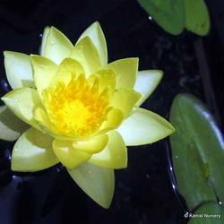 Water Lilies Aquatic Plants