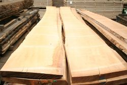 white beech wood