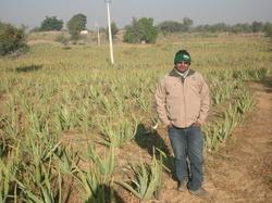 In Aloe Vera Field