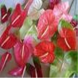 Flower Crops (Anthurium)