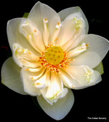 White Lotus / Padma / Sacred Lotus / Nelumbo nucifera
