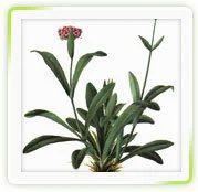Nardostachys Dry Extracts ( Jatamansi)