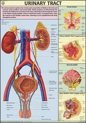 Urinary Tract For Human Physiology Chart