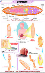 Liver Fluke For Zoology Chart