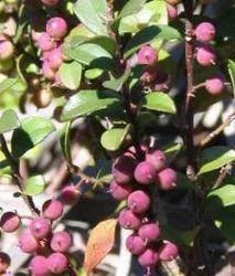 Baibarang (Myrsine Africana)