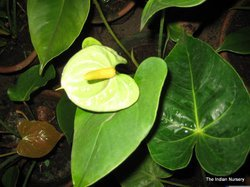 Green Anthurium Plant-Premium Flowering Indoor