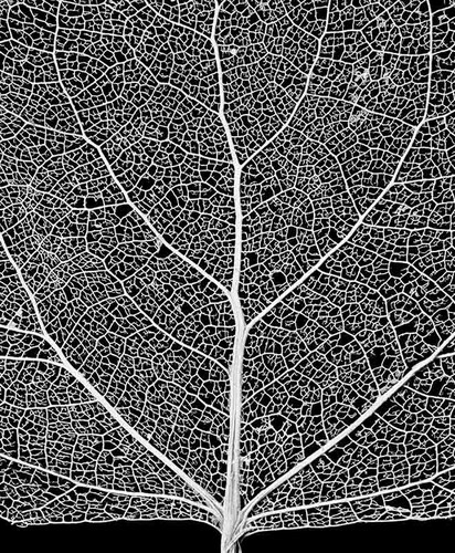 Skeleton Leaves from India