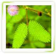 Mimosa Pudica Extract
