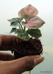 Syngonium podophyllum Arrowhead Red Plants