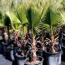 Desert Palm / Washingtonia filifera seedlings