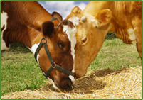 Cattle Feed Supplement For Digestion & Rumen Stimulation