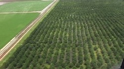 Sandalwood Plantation