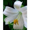 Lillium Flower