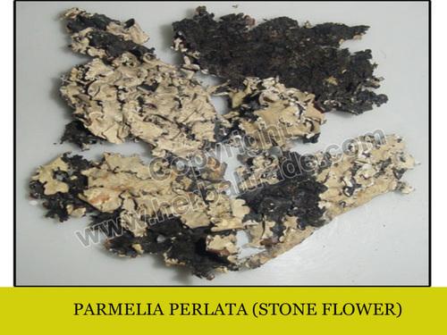 Dagad Phool (Parmelia Perlata)