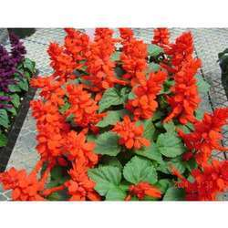 Salvia(Seasonal flower/ Winter flower/ F1 Hybrid Seeds)