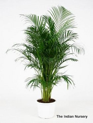 Areca Palm Bushy( Decorative plants/ Ornamental plants )