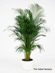 Areca Palm Bushy Decorative Plants
