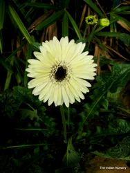 Gerbera Plants( Flowering Plants / Floriculture product )